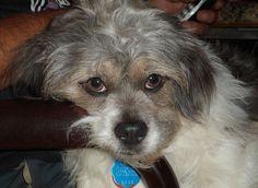 Meet Teeko, a Petfinder adoptable Shih Tzu Dog | Bancroft, ON | Teeko, Male Shih Tzu/Lhasa Apso X, 2 years old, adopted !