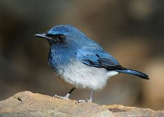 White-bellied Blue Flycatcher (Cyornis pallipes)