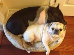 Pig meet pug.  Pug meet pig.