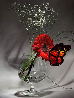 Butterfly on Gerber Daisy red nature flowers butterfly animated pretty gif Butterfly Pictures, Cute Butterfly, Beautiful Butterflies, Beautiful Flowers, Gif Bonito, Beau Gif, Most Beautiful Wallpaper, Gerber Daisies, Kids Braided Hairstyles