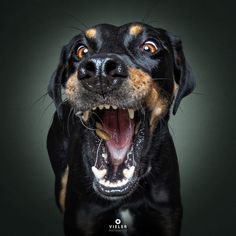 For years, photographer Christian Vieler has captured humorous photos of dogs catching treats in their mouths. The images communicate a range of emotions we experience as humans. Mastador Dog, Cavoodle Dog, Dog Photos, Dog Pictures, Funny Photos, Christian Vieler, Pappillon Dog, Koolie Dog, Kangal Dog