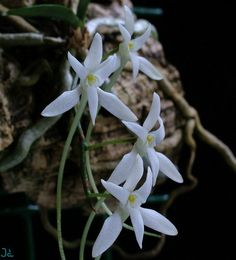Mystacidium venosum