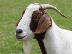 A Mature Goat Boa Specie