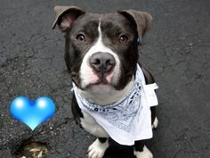 SAFE 12-31-2015 by  Rebound Hounds --- SUPER URGENT Brooklyn Center BRODUS-A1053467 MALE, GRAY / WHITE, PIT BULL MIX, 3 yrs STRAY – STRAY WAIT, NO HOLD Reason STRAY Intake condition UNSPECIFIE Intake Date 10/02/2015 http://nycdogs.urgentpodr.org/brodus-a1053467/