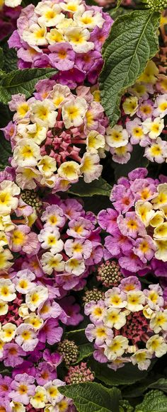 52 best pink plants images on pinterest in 2018 pink plant luscious pinkberry blend lantana camara exotic flowerspink mightylinksfo