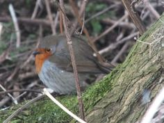 A robin trying to keep warm during one of our many cold days, St Andrews, Scotland