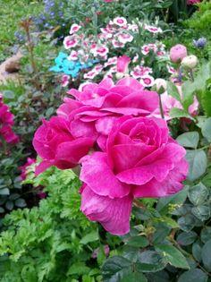 'Intrigue' Rose
