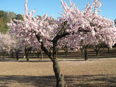Precioso ejemplar florecido en el Parque Quinta de los Molinos (Madrid). Foto: Almudena Gutiérrez Ruiz [Envía tu foto por correo mailto: zona20@20minutos.es o por twitter #Primavera20m]