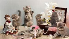 munchkin kitten for sale   Cute Cats Pictures
