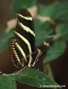 Zebra Longwing Butterfly (Heliconius charitonius) in Action, Florida Everglades