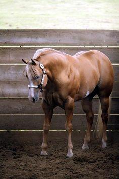 'Awesome N Command' - APHA/AQHA stallion