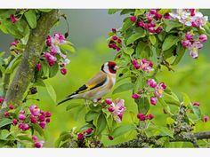 Distelfink und Blüten