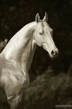 Akhal Teke Horse only around 3,500 left :(       so amazingly beautiful!