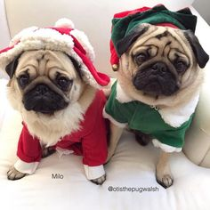 Merry Pugmas! Photo by @otisthepugwalsh Want to be featured on our Instagram? Tag your photos with #thepugdiary for your chance to be featured.