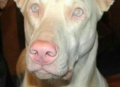 Melanism, Albinism, White Fur, Mammals, Pitbulls, Creatures, Dogs, Lightning, Animal