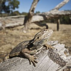 Australian Reptile Park lets you encounter the Eastern Bearded Dragon which is found only in Eastern Australia. Visit us to know more about the Bearded Dragon. Eastern Bearded Dragon, Bearded Dragon Diet, Australian Reptile Park, Best Diets, Reptiles, Dragons, Animals, Animales, Animaux