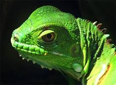 Image result for lizard head