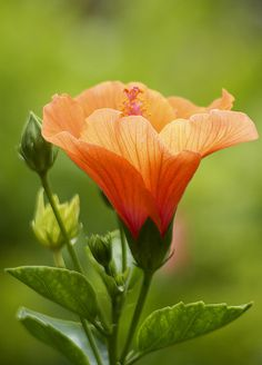 how long does a hibiscus flower bloom Hibiscus Flowers, All Flowers, Exotic Flowers, Orange Flowers, Tropical Flowers, Beautiful Flowers, Hibiscus Plant, Rosa China, Virtual Flowers
