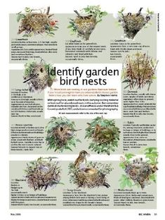 This guide is very handy for getting to know what birds your have in your garden.  You can tailor the food your feeding to help their species thrive. Find our Bird Feeding guide at www.seedtofeed.co.uk    © BBC Wildlife. Identify garden bird nests. #birdwatchingtips