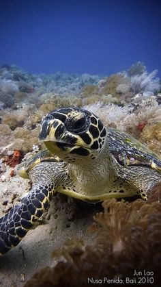 The Hawksbill sea turtle is a critically endangered sea turtle, the only extant species in the genus Eretmochelys in the family Cheloniidae. The species has a worldwide distribution, with Atlantic and Pacific subspecies. It spends most of its time in shallow lagoons and coral reefs. Human fishing practices threaten E. imbricata populations with extinction. by PaparazSea