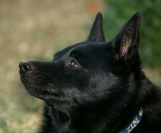 Schipperke dog profile