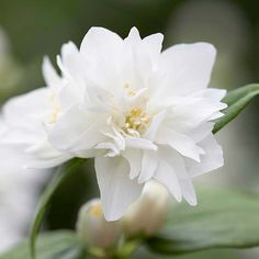 Miniature Snowflake Mock Orange One of springs best scents, mock orange perfumes the air for weeks. This tough, compact selection offers double white flowers on a plant that fits perfectly just about anywhere. Name: Philadelphus Miniature Snowflake Growing Conditions: Full sun to part shade and moist, well-drained soil Size: To 2 feet tall and wide Zones: 4-8