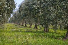 Zeytin ağacından daha fazlası...