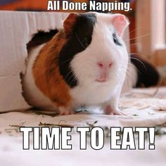 What guinea pigs do all day.