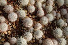 Mammillaria longiflora SB 494