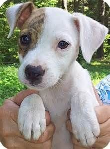 catahoula leopard dog mixed with american staffordshire terrier - Yahoo Image Search Results