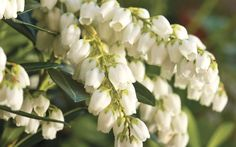 Finally, a more heat-tolerant and less-finicky Pieris japonica! If you've tried growing Pieris in your landscape or gardens in the past without much luck, Mountain Snow™, from the Southern Living Plant Collection, is here to change that!