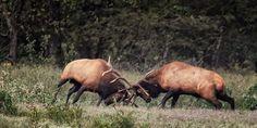 Boxley Beast vs. Godzilla bull elk fight in Boxley Valley, Buffalo National River.
