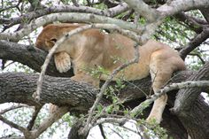 You have to see the Wildlife by yourself. So please contact us for more information. Travel Tours, Air Travel, Panther, Safari, Wildlife, Cats, Videos, Animals, Airline Travel