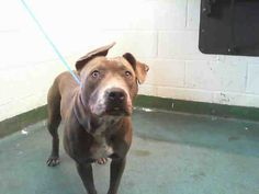 Miami-Dade, FL Animal Services at (305) 884-1101-BLUEBELL - ID#A1659170 I am an unaltered female, blue and white Pit Bull Terrier. The shelter staff think I am about 1 year old I have been at the shelter since Nov 10, 2014.