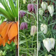 Fritillaria Bulbs Perennial Spring Flowering Bulbs or Corms for the Garden Spring Flowering Bulbs, Perennials, Seeds, Colour, Garden, Plants, Color, Lawn And Garden, Gardens