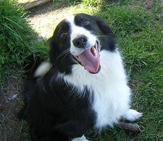 Could anyone look at this expression, and not smile. Border Collie a breed of dog that loves to please you.