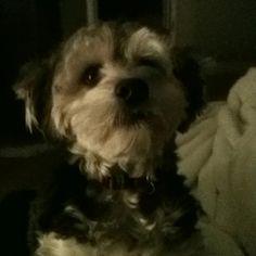 Yorkie poo looks like my Murray!