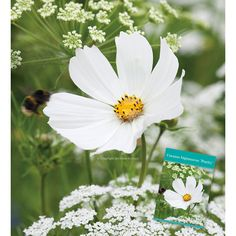 Cosmos bipinnatus 'Purity' has large, open flowers of pure white, with delicate apple-green foliage. The classic cut flower and a supremely lovely garden plant, which no one should be without.