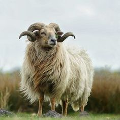 The Dutch sheep breed, the oldest sheepbreed of western Europe, originated b. is an extremely endangered sheepbreed which now mostly survives in the Dutch province of Drente and is treatened to go extinct due a lack of interest in their wool Farm Animals, Animals And Pets, Cute Animals, Animals With Horns, Sheep With Horns, Sheep Breeds, Sheep Art, Sheep And Lamb, Animal Paintings