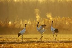 Red-crowned Crane Photo by Wang Fang — National Geographic Your Shot
