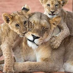 these lion cubs appreciate their mom - happy mother day Fast Crazy Nature Deals. Lion Pictures, Baby Animals Pictures, Cute Baby Animals, Animals And Pets, Beautiful Cats, Animals Beautiful, Lioness And Cubs, Wild Lion, Lion Love