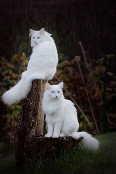 Arthur & Beatrice ~ These gorgeous cats love to visit my white Maltese in the garden when we are out in early morning. I have four snow white fluffy things that are chasing each other.