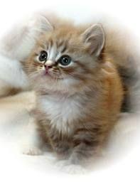 Raga Muffin kitten
