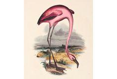 Hand-Colored Flamingo Engraving, 1843