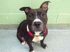 TO BE DESTROYED - TUESDAY 12/02/14 Manhattan Center   My name is SASSY aka PATTY. My Animal ID # is A1015370. I am a female black and white staffordshire mix. The shelter thinks I am about 1 YEAR 1 MONTH old.  I came in the shelter as a STRAY on 09/26/2014 from NY 10456, owner surrender reason stated was STRAY.  https://www.facebook.com/photo.php?fbid=883214701691410