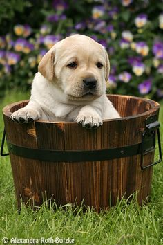 Mind Blowing Facts About Labrador Retrievers And Ideas. Amazing Facts About Labrador Retrievers And Ideas. Lab Puppies, Cute Puppies, Cute Dogs, Beautiful Dogs, Animals Beautiful, Funny Animals, Cute Animals, Funny Pets, Mans Best Friend