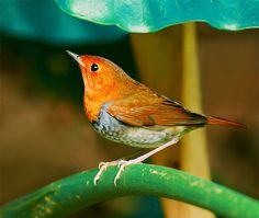 El petirrojo japonés,Japanese Robin,Erithacus akahige,  Komadori es un pájaro de canto, Taneg Arch japonesa ashima y Yakushima islas