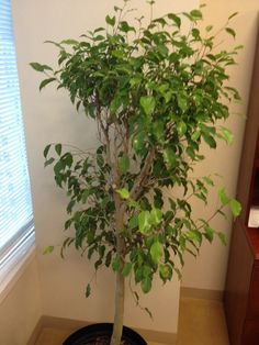 Ficus Problem - http://www.gardenanswers.com/trees/ficus-problem-2/