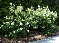 CARPENTERIA californica Bush Anemone - really pretty. reminds me of roses without the thorns. i like the dark leaf and dense coverage