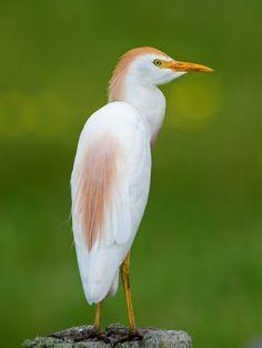 Cattle egret (Bubulcus ibis ibis)   Flickr - Photo Sharing!